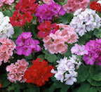 "PRE-ORDER (deadline for Pre-Orders 3/2/21) 6"" Geraniums for Customer Pick Up at one of our Flash Gardens Weekend of Friday 3/12/21, Saturday 3/13/21, Sunday 3/14/21 - Use the Pull Down Menu to Choose Colors & Pick Up Location"