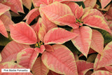 Poinsettias - These are the very Best. Reserve Yours Early - limited numbers- They make great gifts. These should be available for delivery starting the week of 12/02/19