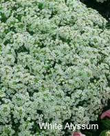 Lobularia White Stream  Qt Proven Winner Sweet Allysum