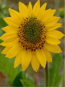 Balsamroot Flower Essence