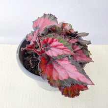 Load image into Gallery viewer, Begonia Rex Inca Night - Royal Jungle