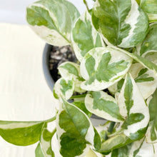 Load image into Gallery viewer, Pothos Snow Queen - Royal Jungle