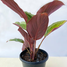Load image into Gallery viewer, Calathea Bicajoux Pink - Royal Jungle