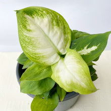 Load image into Gallery viewer, Dieffenbachia Camille - Royal Jungle