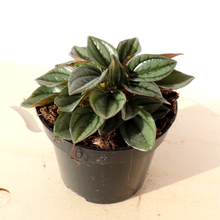 Load image into Gallery viewer, Peperomia Napoli Nights - Royal Jungle