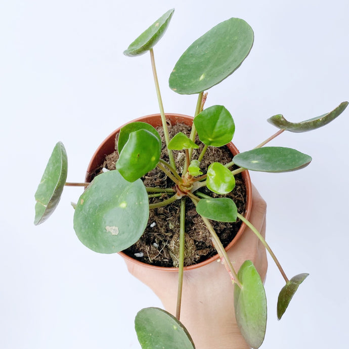 Pilea peperomoides 'Chinese Money Plant' - Royal Jungle
