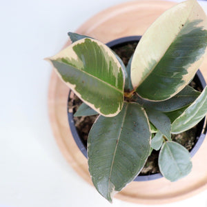 Ficus Elastica Tineke - Royal Jungle