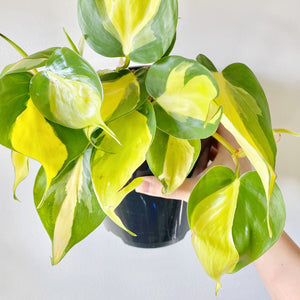 Philodendron Brasil - Royal Jungle