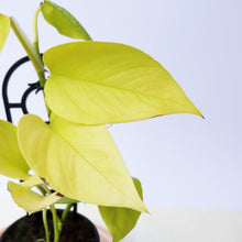 Load image into Gallery viewer, Epipremnum Aureum Goldilocks - Golden Neon Pothos - Royal Jungle