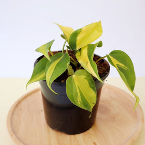 Philodendron Brasil Small - Royal Jungle