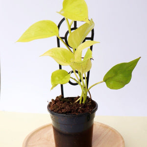 Epipremnum Aureum Goldilocks - Golden Neon Pothos - Royal Jungle