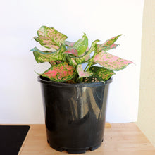 Load image into Gallery viewer, Aglaonema Pink - Royal Jungle