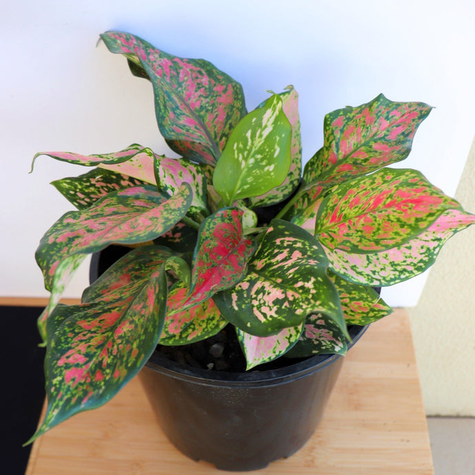 Aglaonema Pink - Royal Jungle