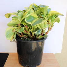 Load image into Gallery viewer, Peperomia Albo Marginata - Royal Jungle
