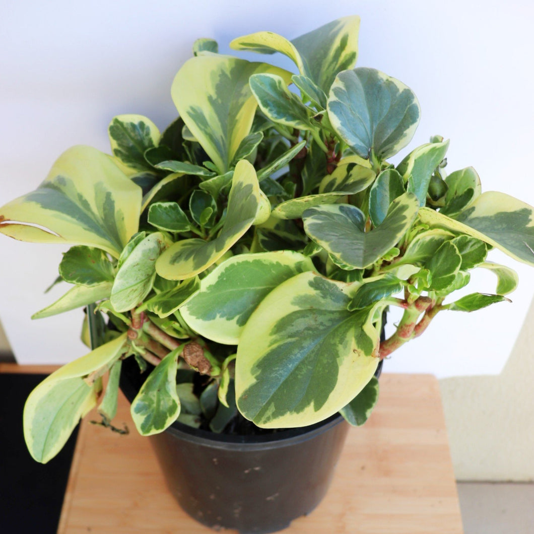Peperomia Albo Marginata - Royal Jungle
