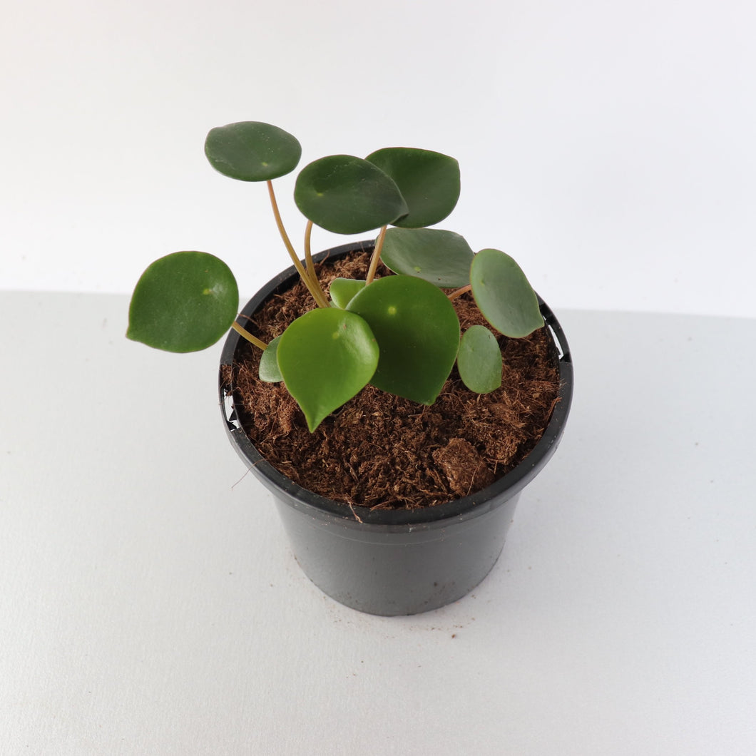 Peperomia Polybotrya Raindrop - Royal Jungle