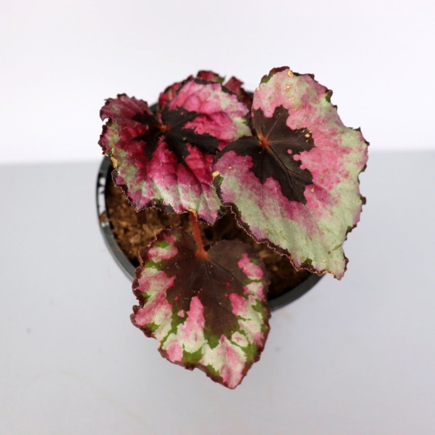 Begonia Rex - Royal Jungle