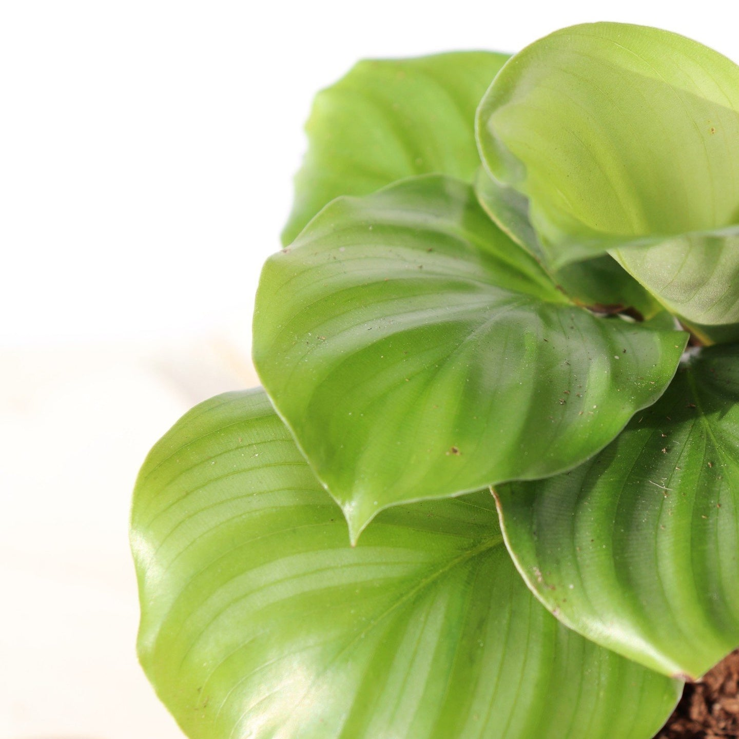 Calathea Orbifolia - Royal Jungle