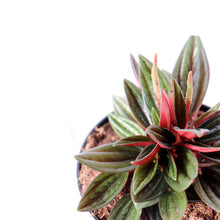 Load image into Gallery viewer, Peperomia Eden Rosso - Royal Jungle