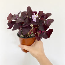 Load image into Gallery viewer, Oxalis Triangularis - Royal Jungle