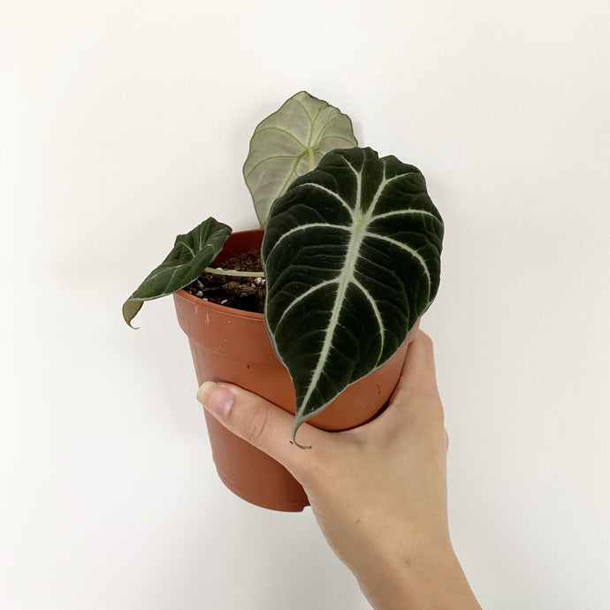 Alocasia Black Velvet - Royal Jungle