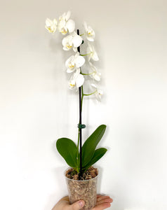 Phaleanopsis Orchid - Royal Jungle