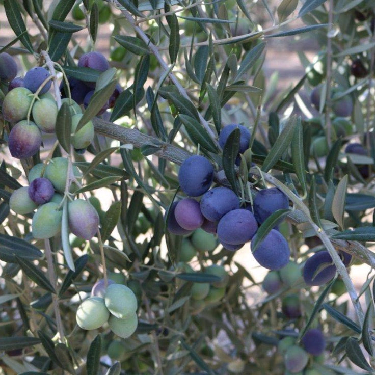 Ripe picual olives just before harvest.  A beautiful purple color.