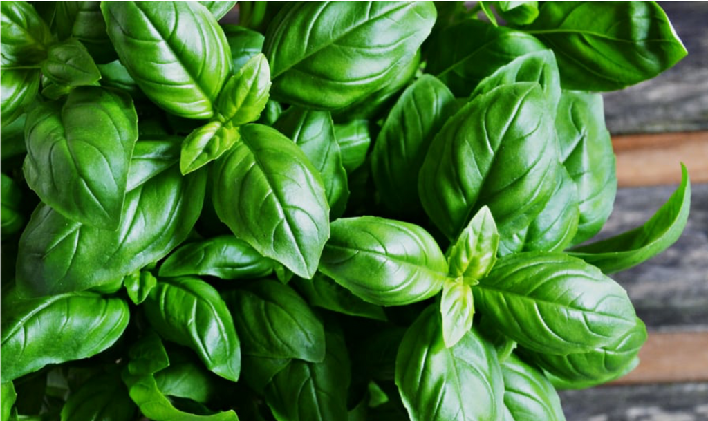 Fresh Basil Leaves are crushed with our just harvested olives for real basil olive oil!