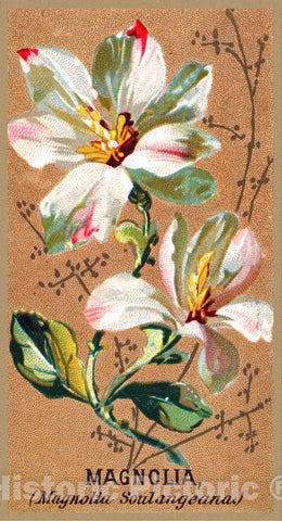 Art Print : Issued by Goodwin & Company - Magnolia (Magnolia Soulangeana), from The Flowers Series for Old Judge Cigarettes : Vintage Wall Art