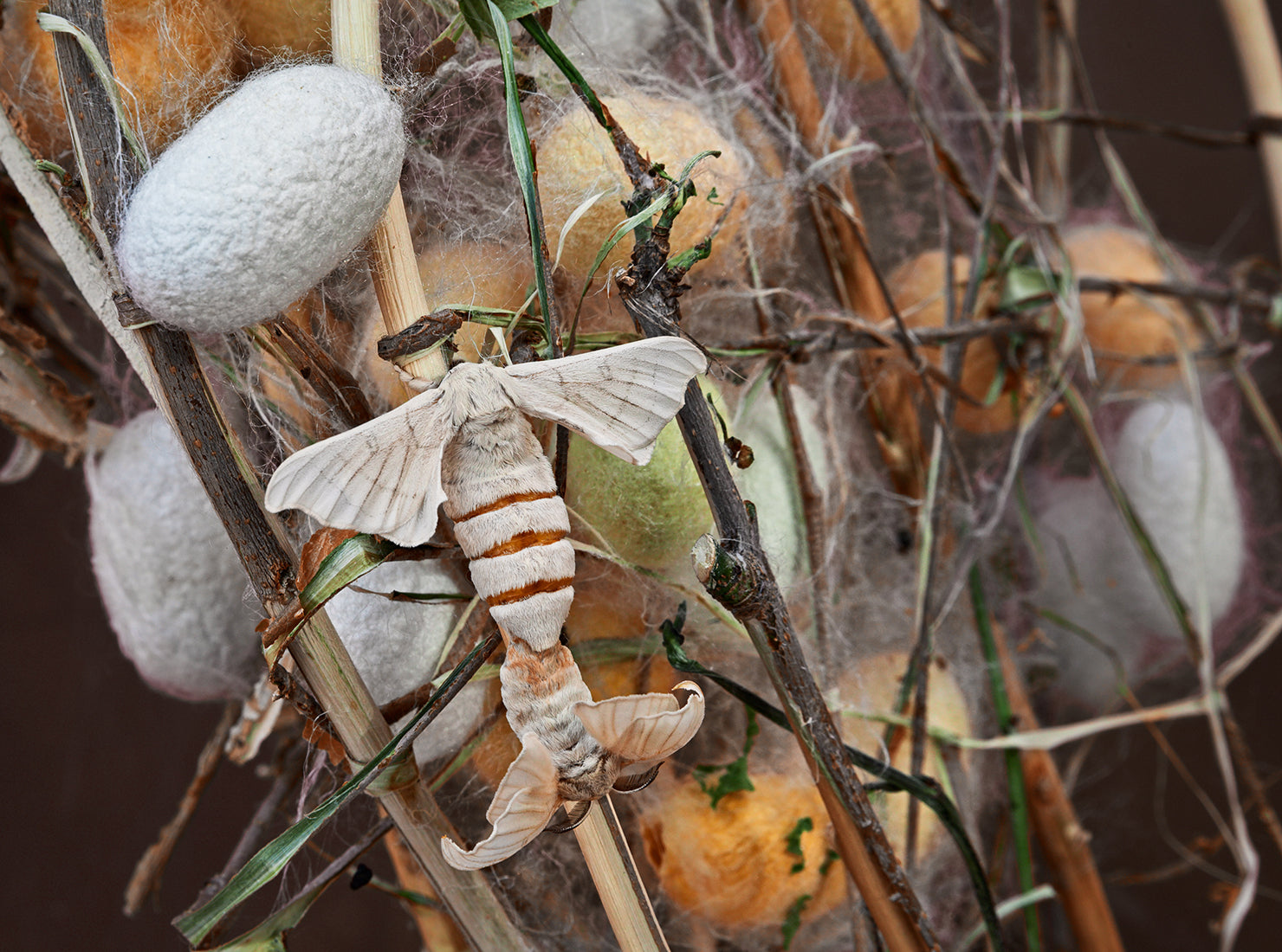 Silkworm moth and the cocoons