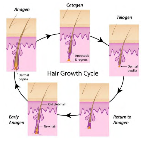 How Does NO Grow Work - The Hair Growth Cycle