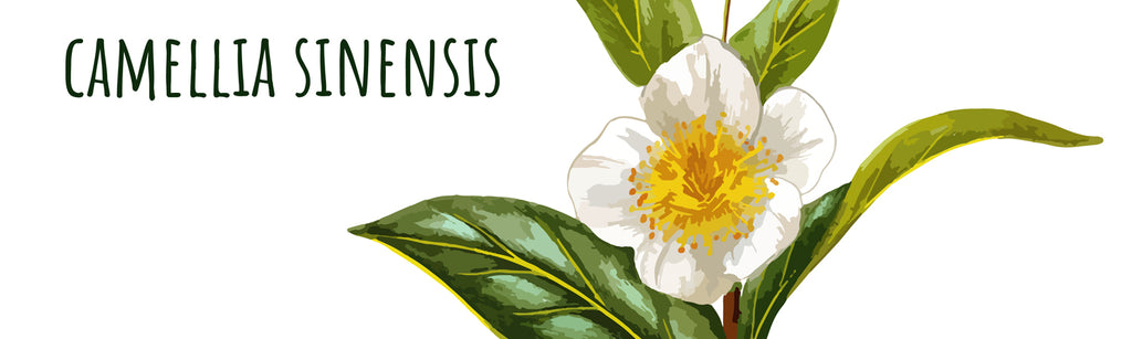 Skin Benefits of Camellia Sinensis
