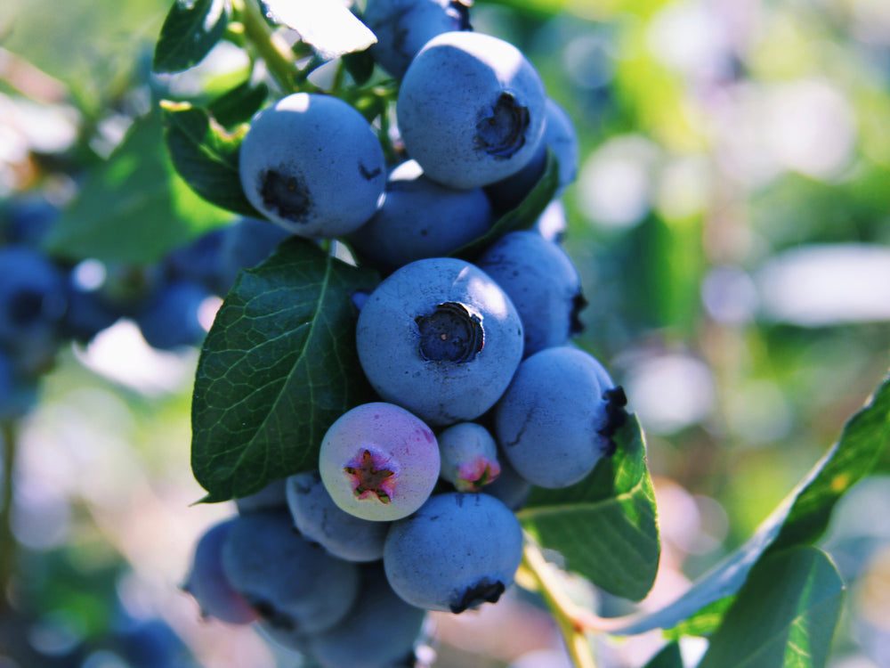 Equine Health Benefits of Blueberries