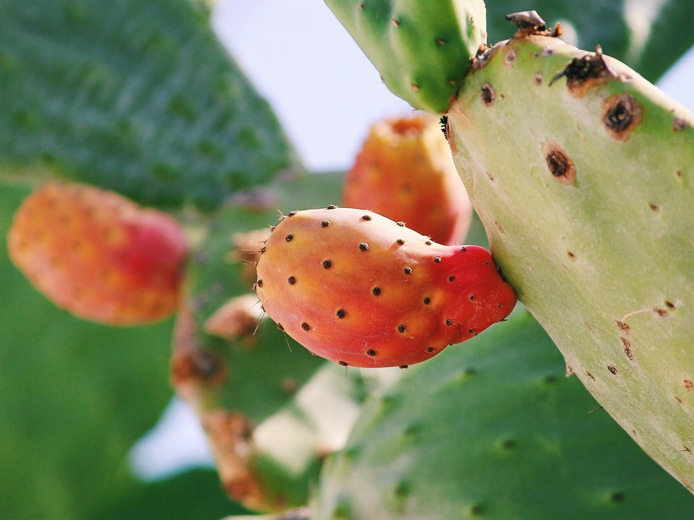 Equine Health Benefits of Prickly Pear