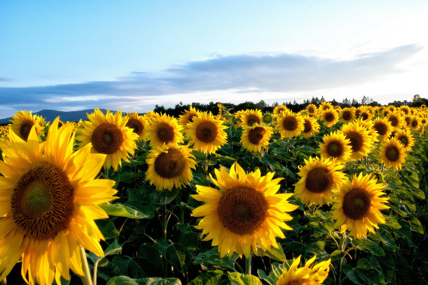 Top 3 Sunflower Oil Benefits