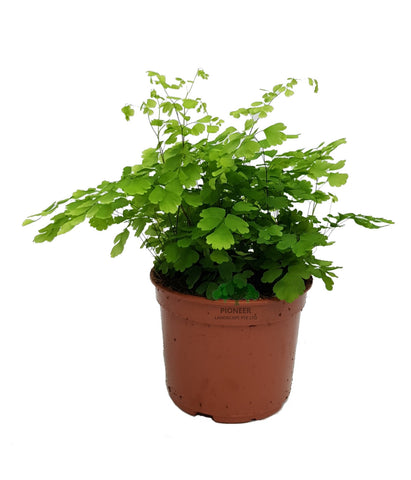Adiantum, Maidenhair Fern (12cm Pot)