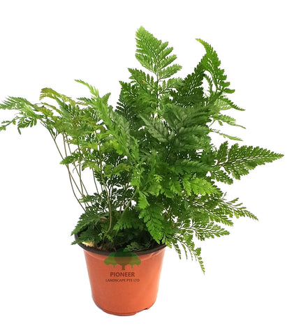 Davallia Fejeensis, Rabbit's Foot Fern (9cm Pot)