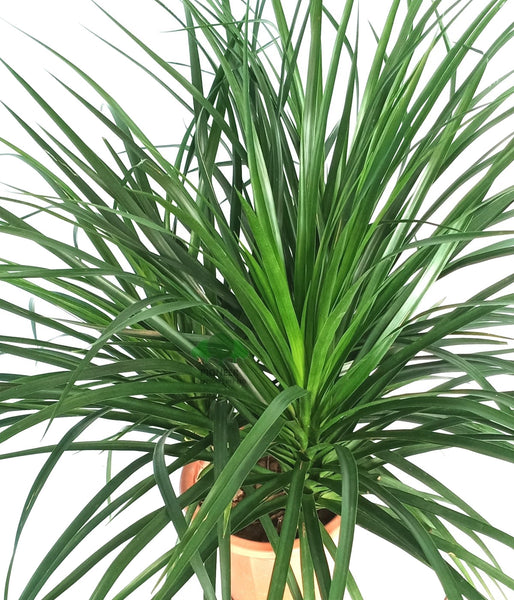 Dracaena draco '3 in 1', Dragon Plant (26cm Pot)