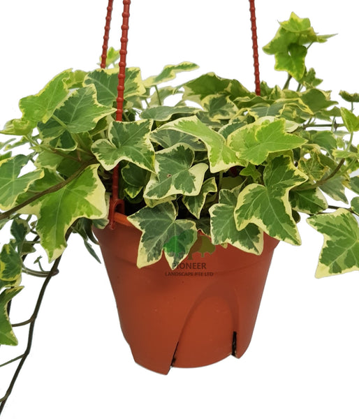 Hedera Helix, English Ivy (15cm HangingPot)