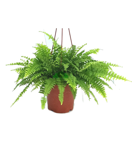 Nephrolepis exaltata, Boston Fern (15cm Hanging Pot)