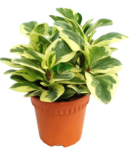 Peperomia obtusifolia 'Variegated', Marble Gold (15cm Pot)
