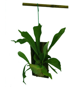 Platycerium spp, Staghorn Fern Mounted on Wood