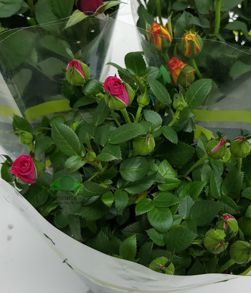 Rose Assorted Colours (10.5cm Pot)