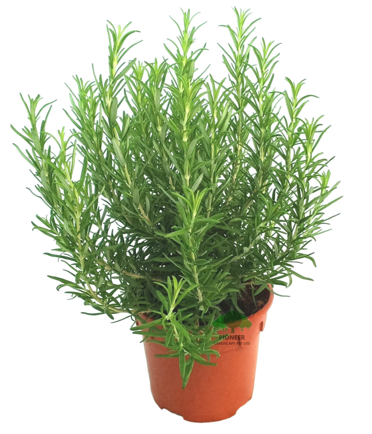 Rosmarinus Officinalis, Rosemary (15cm Pot)