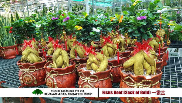 CNY - Ficus Root in Sack of Gold Pot
