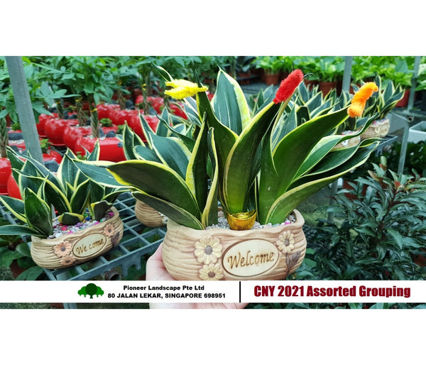 CNY - Assorted Sansevieria Groupings