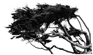 Windblown Cypress