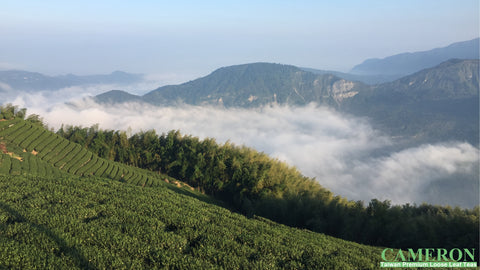 Taiwan AliShan Oolong Tea - High Mountain Oolong
