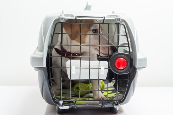 Young dog jack russel terrier in plastic carrier ready to travel