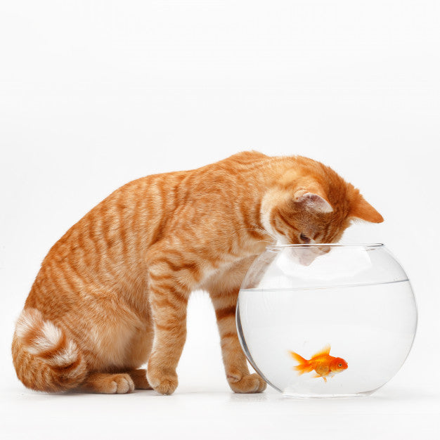 Cute red cat plays with a gold decorative fish in a round aquarium. Premium Photo